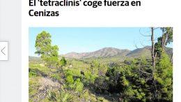 El Tetraclinis coge fuerza en Cenizas